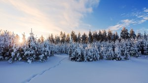 Morning-snow-Landscape-Forest-Plant